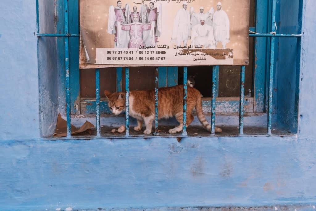 koty w chefchaouen niebieskie miasto
