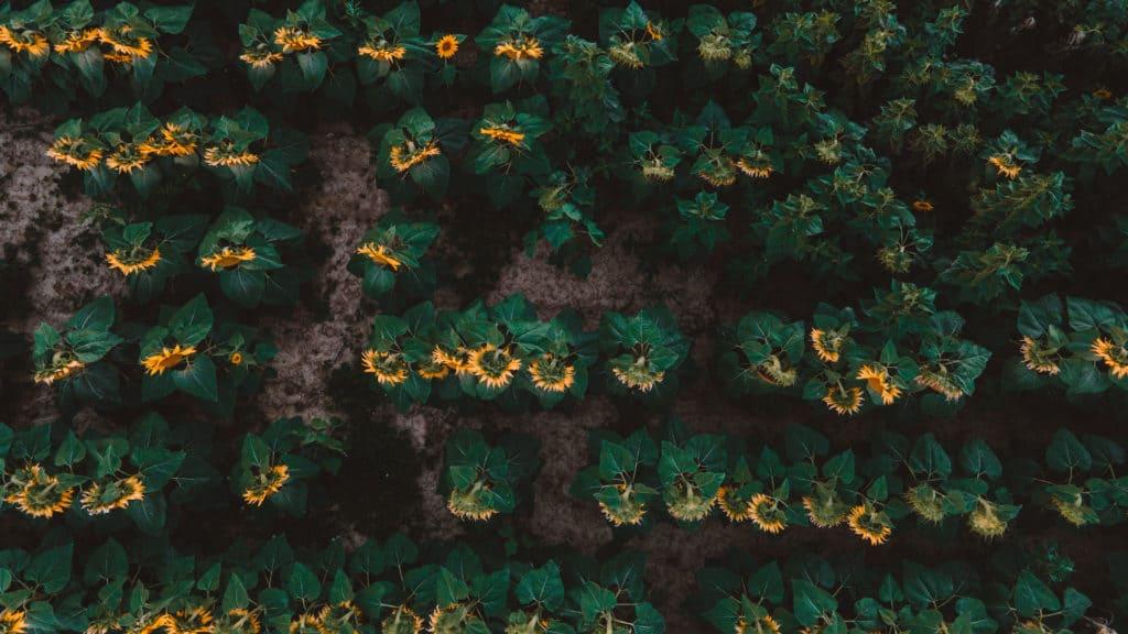 sunflower fields balaton