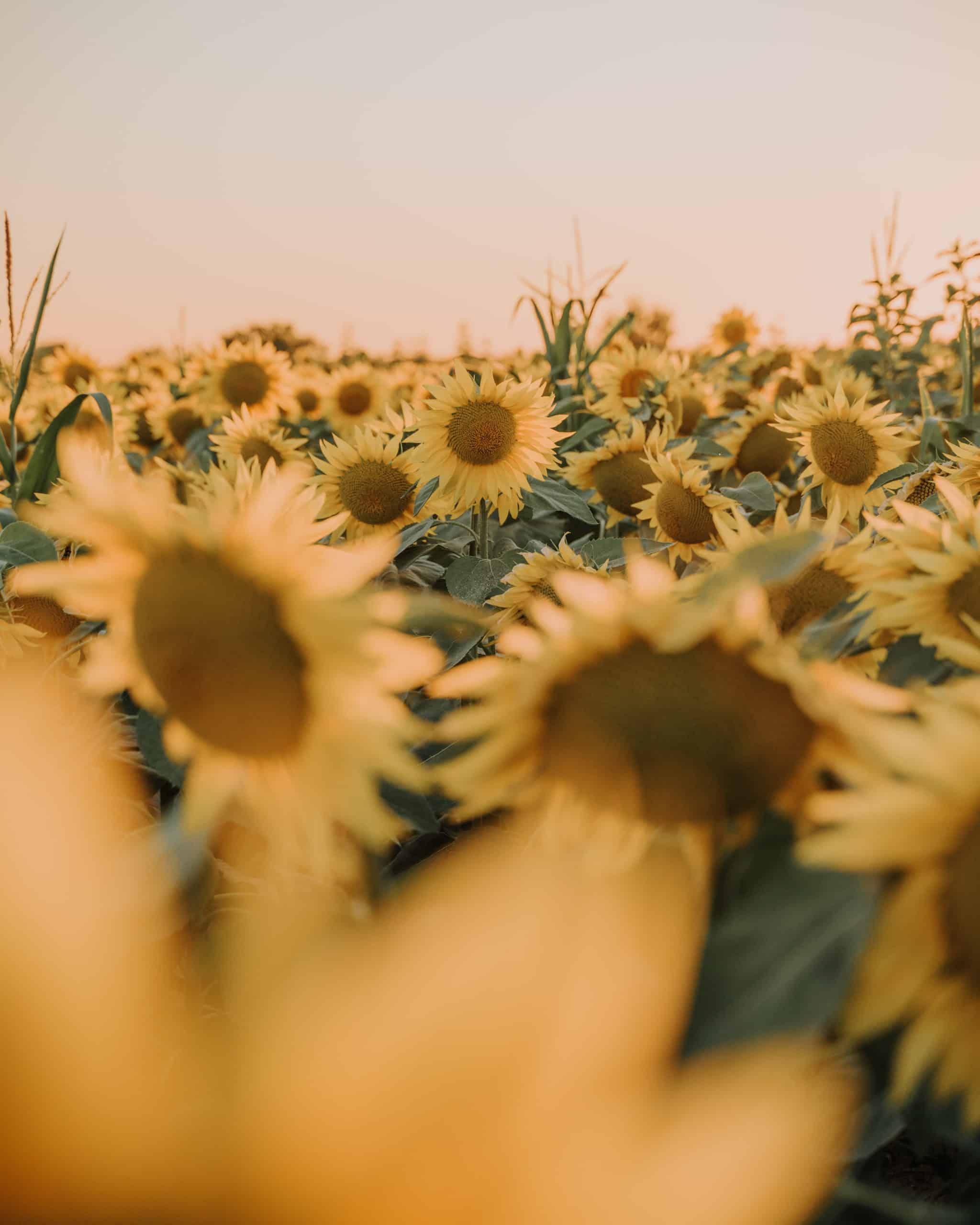 sunflowers balaton