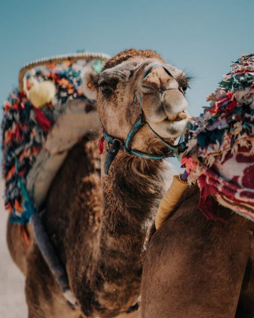 wielbłądy maroko informacje praktyczne Afryka