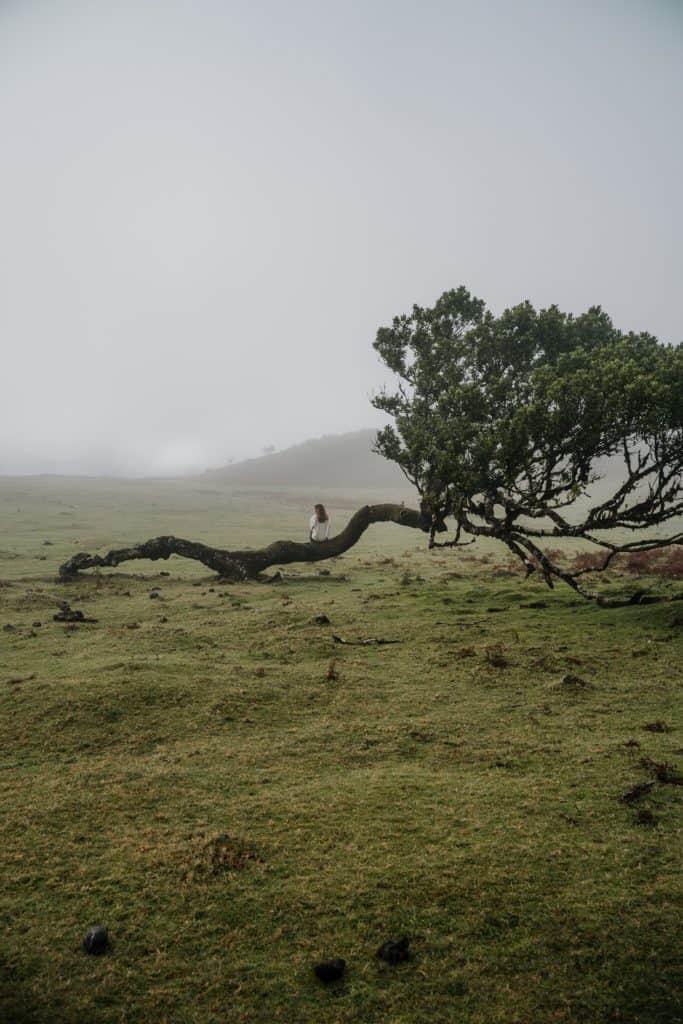 fanal drzewo mgła madera ceny na maderze